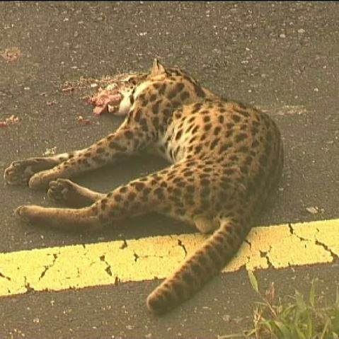 Leopard Cat, Mandai Road, July 2001